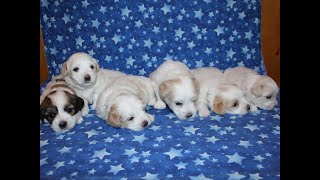 Coton Puppies For Sale - Peaches 7/17/21