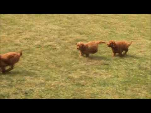 Miniature Goldendoodle Puppies For Sale
