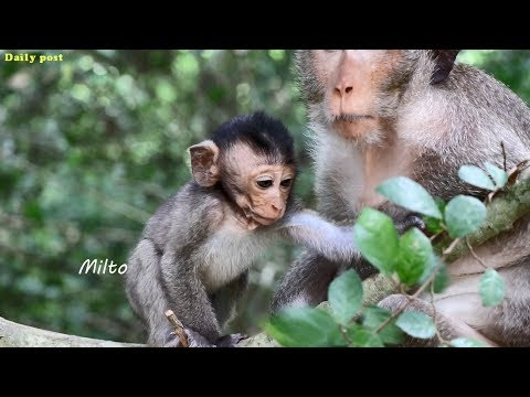 Baby monkey Milto cannot get as usual even much better | Milto leg may be disable cannot use forages
