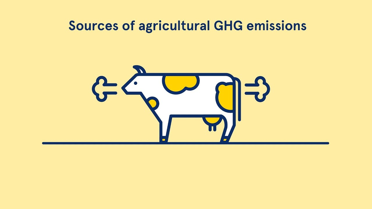Global methane emissions from agriculture larger than reported, according to new estimates