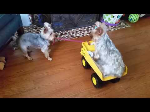 Fun with our Yorkies Part 3