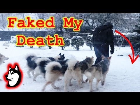 Pretending To Faint Infront Of My Dog Pack - The Husky Family