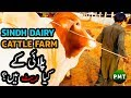 How Much Sindh Dairy & Cattle Farm Charge to Grow the Cattle? Tips of Livestock Cattle Farming Urdu