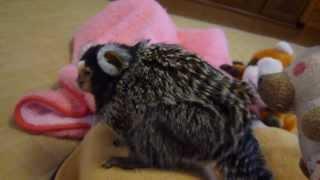 怒ってもかわいいコジロウ コモンマーモセット marmoset