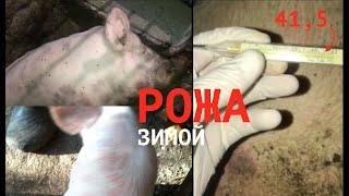 Свинья болеет рожей можно есть мясо