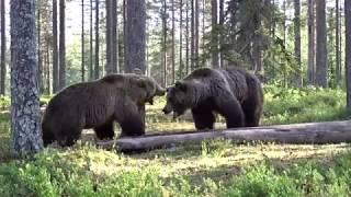 Медвежий этикет. Диалог хозяина с непрошенным гостем