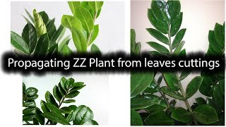How To Propagate ZZ Plant (Zamioculcas Zamiifolia) From Leaves Cutting