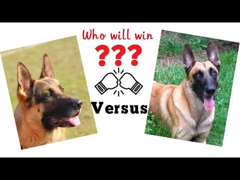 German shepherd vs Belgian Malinois. Dog comparison based on 33 criteria.