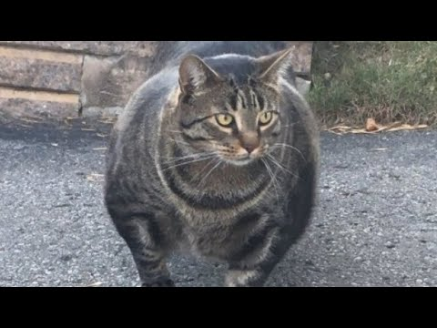 This Is The Strongest Cat Breed In The World
