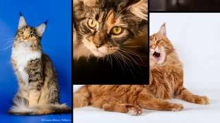 Все о кошках породы мейн-кун за 3 минуты(Все самые интересные факты о популярной породе кошек - мейн-кун: описание породы, нюансы содержания и ухода...., 2016-07-07T04:15:39.000Z)