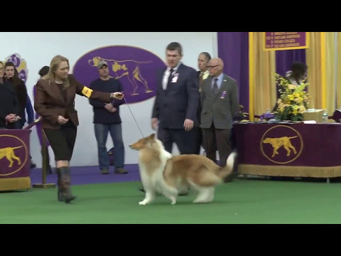 Westminster Kennel Club Dog Show 2016   Collie Rough Dog thumbnail