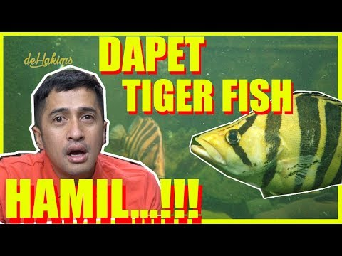 DAPET TIGER FISH HAMIL...!!!