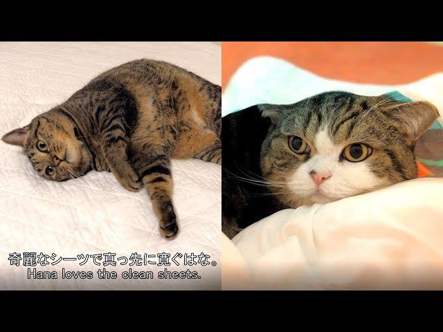 洗い立てのシーツが好きなまるとはな。-Maru&Hana love washed covers.-