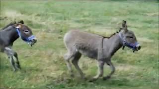 Buddy-boss of the donkey farm
