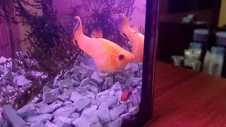 Рыбка моллинезия и ее особенности