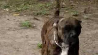 Taz - Lone Star Boxer Rescue