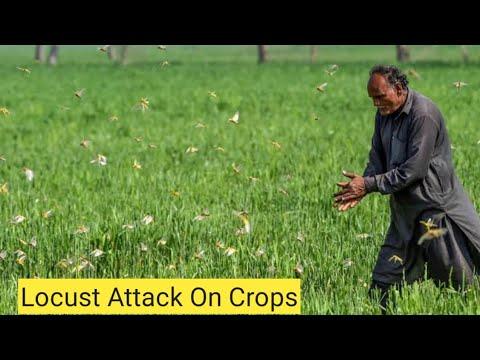 Hadi Mian Ki Field per Locust ( ٹڈی دل  ) ka Hmla ..👹👹👹👹