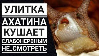 Улитка Ахатина кушает🐌 Слабонервным не смотреть