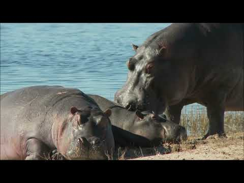 Wild animal - Hippopotamus video