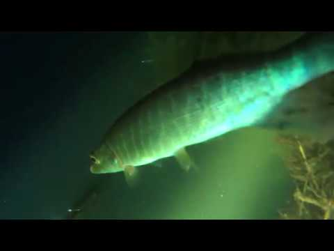 Подводная охота - щука