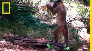 On Assignment: Monkeys Use Stones to Crack Open Nuts