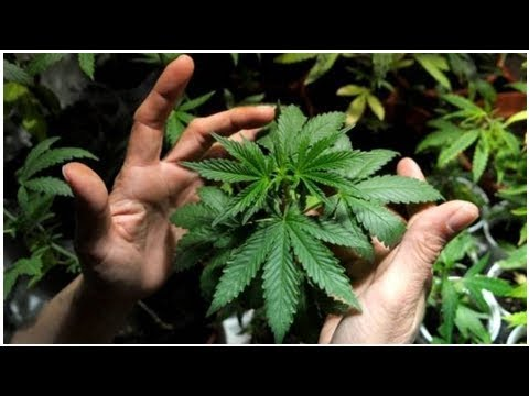 Big buzz about new cannabis law course at U of O   CBC News