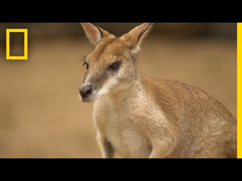 The Kangaroo is the World's Largest Hopping Animal | National Geographic