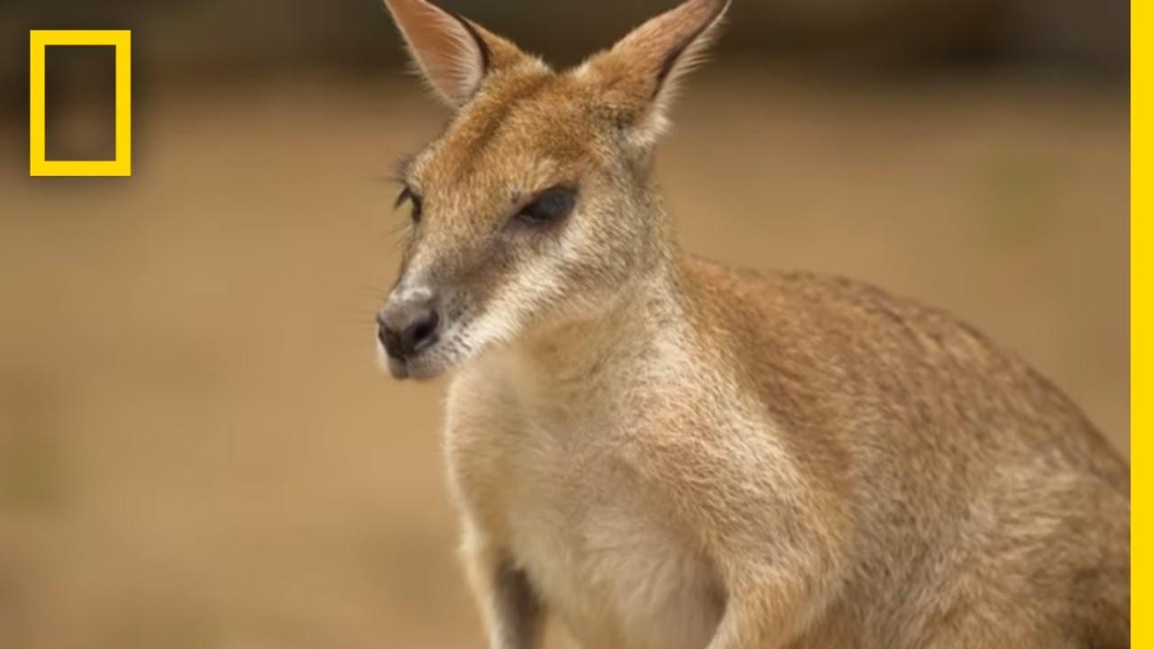The Kangaroo Is The World's Largest Hopping Animal