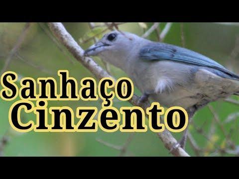 Tudo sobre Sanhaço Cinzento - Belo Pássaro - Lindo Canto
