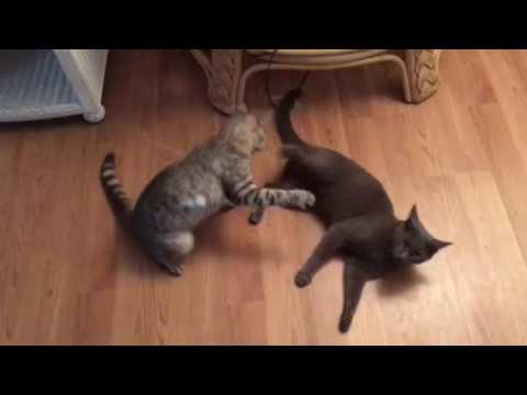 Egyptian Mau and Russian blue fight