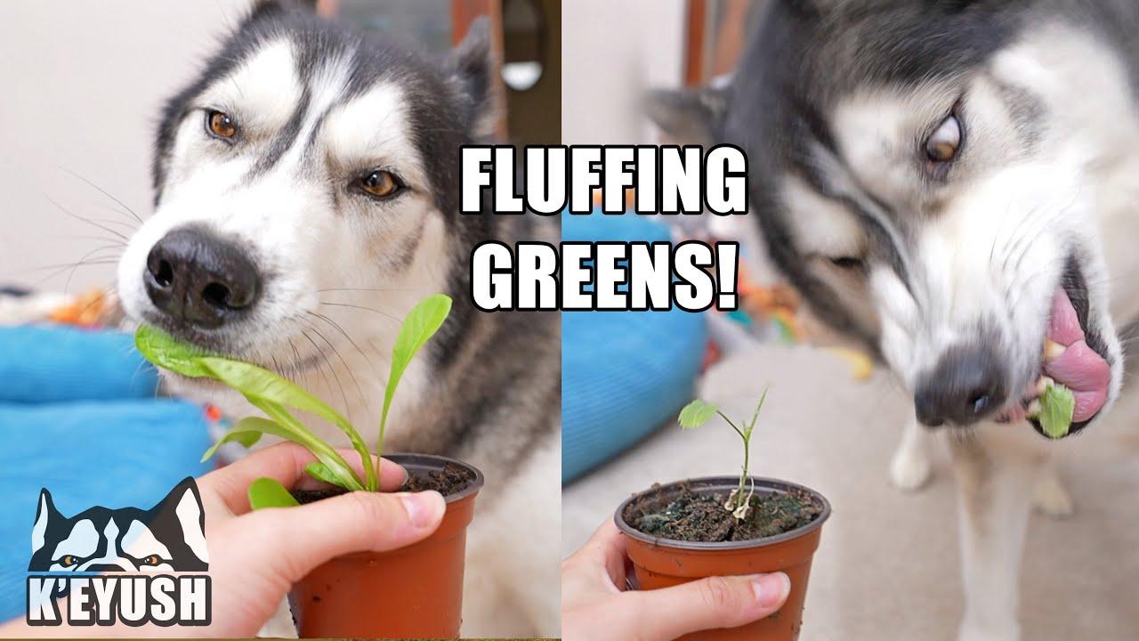 My HUSKY Is JEALOUS of PLANTS! He Wants All My Attention!