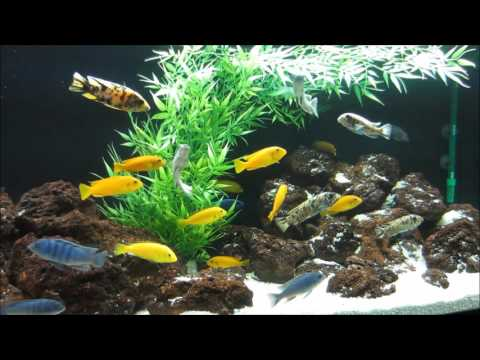 MBUNA IN THE AQUARIUM: Tips And Advice For Selecting Fish And Keeping Mbuna Cichlids