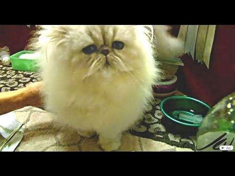 chinchilla silver persian cat - cat  breeds TICA