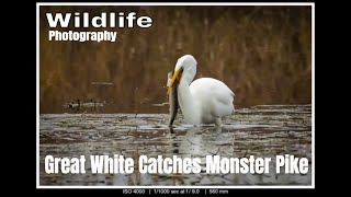 Wildlife Photography UK Great White Egret Catches Monster Pike