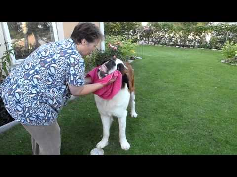 Saint Bernard - Stormy - eating his lunch 2011-07-16.MP4