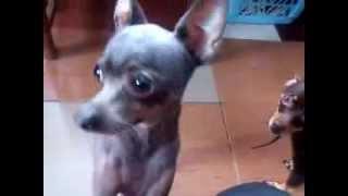 Ищем хозяина для маленьких собак! Смотрите, какие лапочки!