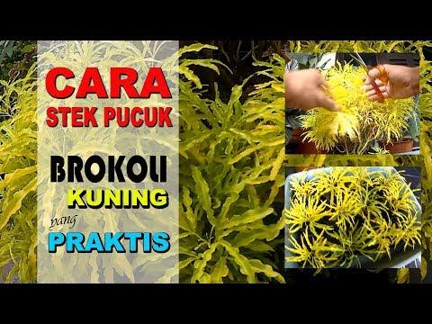 Cara Stek Tanaman Hias Brokoli Kuning Praktis Vlog 20 Youtube