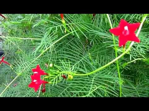 "Cypress Vine (Ipomoea Quamoclit), Lisa's Landscape & Design ""Plant Pick Of The Day"""