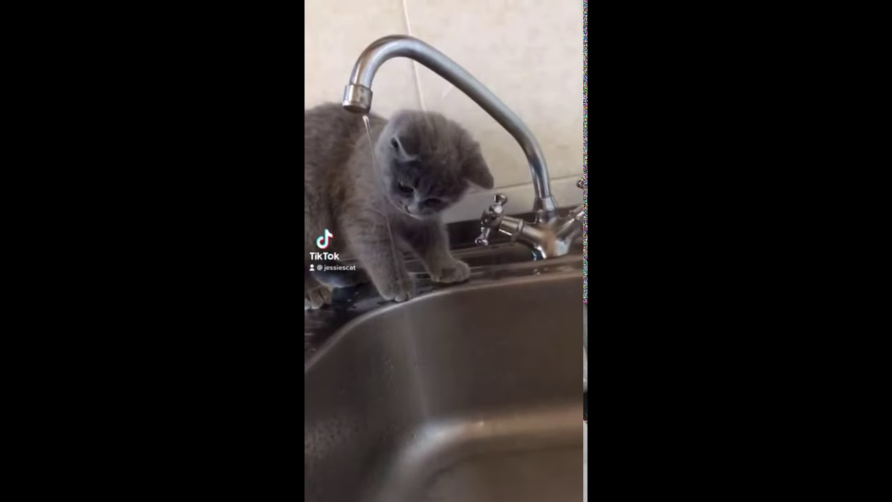 Cat drinks water from the tap  | My British Shorthair Cat #shorts