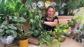 Philodendron hederaceum or Philodendron Brasil houseplant care tips from Happy Houseplants