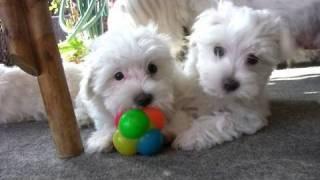 Maltese Puppies  8 Weeks Old (in HD)