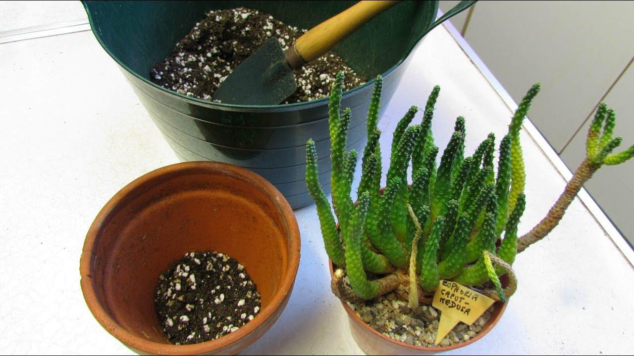 "Download Re Potting my Euphorbia caput-medusae ""Medusa's Head"" Succulent Plant"