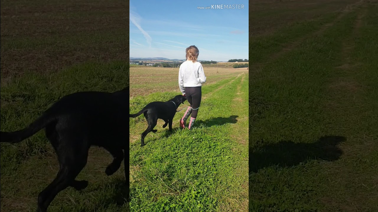 Puppy training 8 weeks to 1 year. Labrador Retriever - YouTube