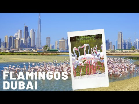 Flamingos at Ras Al Khor Wildlife Sanctuary In Dubai 2020