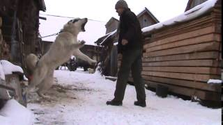 Turkmen Alabaj guarding TEST 7 - Central Asian Shepherd Dog