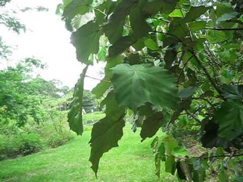 Pterospermum acerifolium Dinner Plate Tree & Pterospermum acerifolium Dinner Plate Tree - YouTube