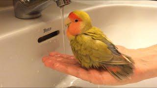 El baño de mi agapornis Paquito