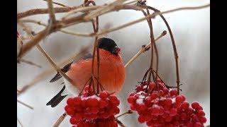 Птицы Чудесника. Демонстрация и рассказ о подмосковных птицах. Читает автор.