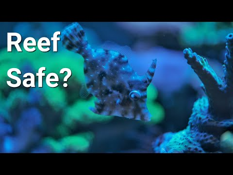 Watch This Before You Get An Aiptasia Eating File Fish
