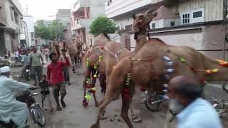 Camels Of Samanabad In A Group.mp4